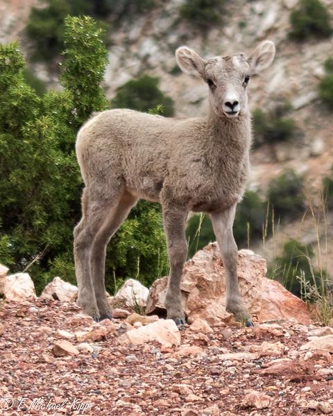 Bighorn Sheep Lamb - Bighorn Canyon - Wyoming-Montana-2915