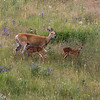 White-tailed Deer and Fawns - Western Montana-6682