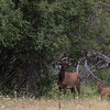 National Bison Range - Elk and Calf-6784