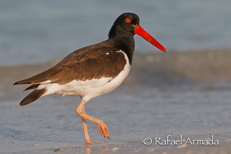 American Oystercatcher (Haematopus palliatus), Adult.<br /> Fort de Soto Park (Florida, USA), March 2011.