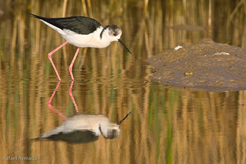 Black-winged Stilt (Himantopus himantopus himantopus).<br /> Ebre delta (Tarragona, Catalonia, Spain), April 2010.<br /> Esp: Cigueñuela<br /> Cat: Cames llargues
