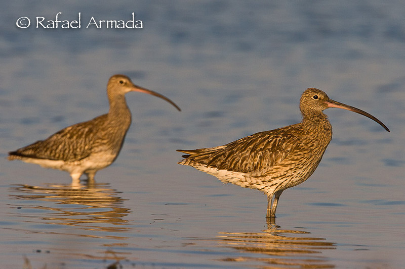 Curlew (Numenius arquata arquata).<br /> Ebre delta (Tarragona, Catalonia, Spain), September 2006.<br /> Esp: Zarapito real<br /> Cat: Becut