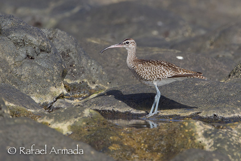 Whimbrel (Numenius phaeopus). La Restinga (El Hierro, Canary Islands), October 2012.<br /> Esp: Zarapito trinador<br /> Cat: Polit cantaire