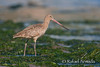 Marbled Godwit (Limosa fedoa).<br /> Point Reyes (California, USA), April 2009.