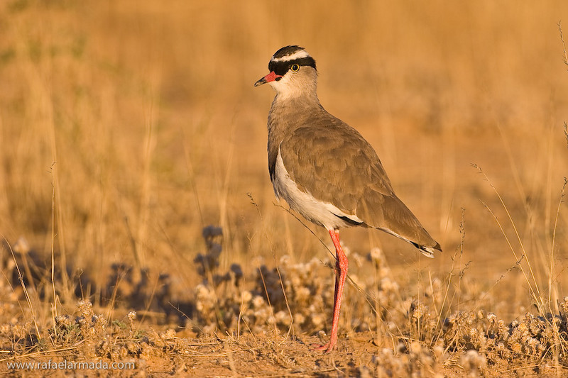 Crowned Lapwing (Vanellus coronatus). Kalahari NP (South Africa), November 2005.