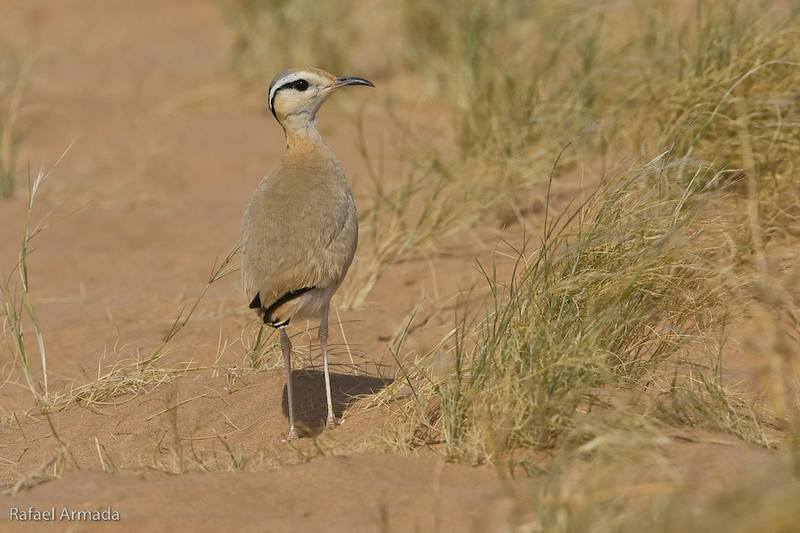 Cream-coloured Courser (Cursorius cursor), Adult. Ausserd (Western Sahara), April 2007.<br /> Esp: Corredor sahariano