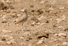 Cream-coloured Courser (Cursorius cursor), Adult. Los Molinos (Fuerteventura, Canary Islands), September 2012.<br /> Esp: Corredor sahariano