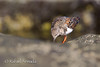 Turnstone (Arenaria interpres).<br /> La Restinga (El Hierro, Canary Islands), October 2012<br /> Esp: Vuelvepiedras<br /> Cat: Remenarocs
