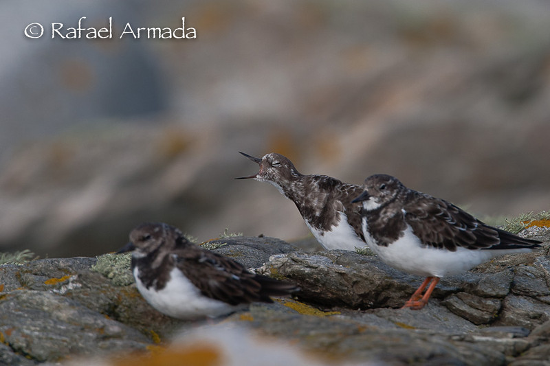 Turnstone (Arenaria interpres).<br /> Ouessant (Bretagne, France), October 2004<br /> Esp: Vuelvepiedras<br /> Cat: Remenarocs