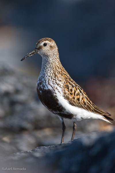 Dunlin (Calidris alpina), Adult. Drumbeg (Scotland), June 2006<br /> Esp: Correlimos común<br /> Cat: Territ variable