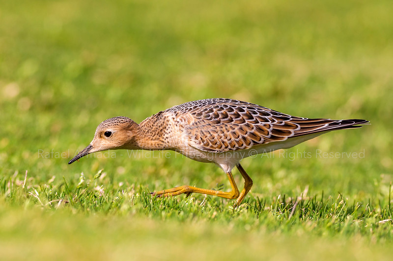 Buff-breasted Sandpiper (Calidris subruficollis), 1st Winter