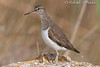 Common Sandpiper (Actitis hypoleucos).