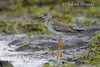 Lesser Yellowlegs (Tringa flavipes).