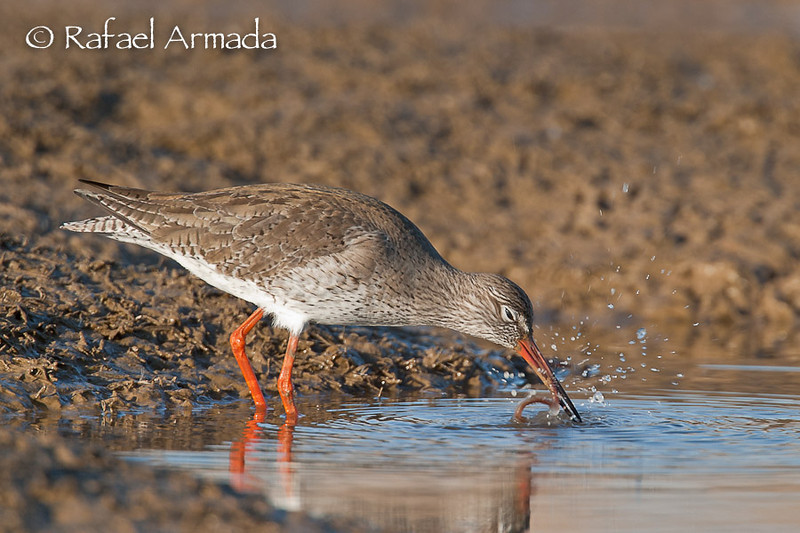 Redshank (Tringa totanus).<br /> Ebre delta (Tarragona, Catalonia, Spain), March 2005.<br /> Esp: Archibebe común<br /> Cat: Gamba roja
