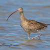 Eastern Curlew, Numenius madagascariensis