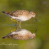Sharp-tailed Sandpiper Calididris acuminata