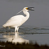 Great Egret, area alba