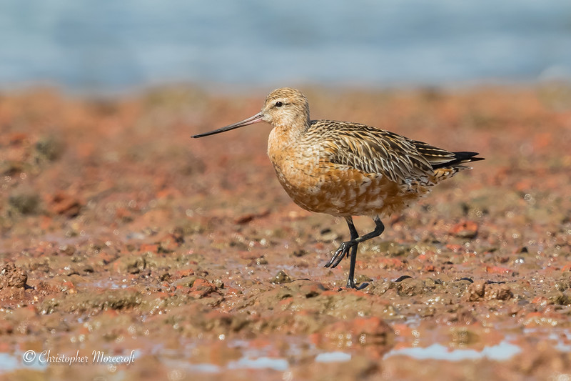 Bar-Tailed Godwit, Limosa Lapponica.
