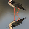 White - Necked Stilt, Himantopus leucocephalus