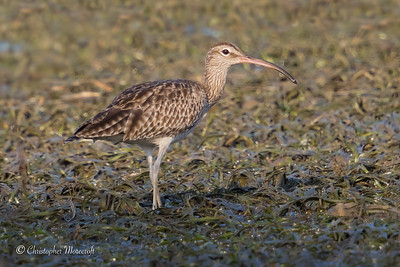 Whimbrel, Numenius phaeopus