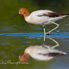 Red-necked Avocet, Recurvirostra novaehollandia