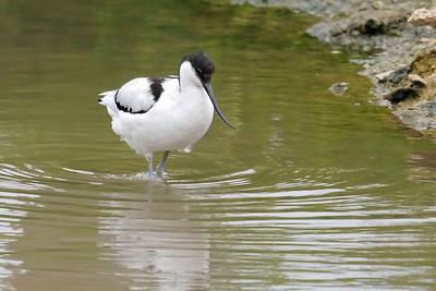 Avocet (Recurvirostra avosetta), Slimbridge WWT, Gloucestershire, 10/08/2011
