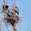 Great Blue Herons, Ballston Creek Rookery 4-9-16