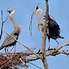 Herons Rebuilding Nests, Ballston Creek Rookery, 4-9-16