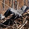 GBH pilfering sticks from Beaver Lodge, Ballston Creek Rookery 4-9-16