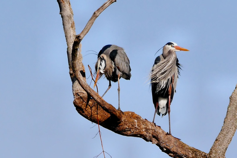 Herons Rebuilding Nests, Ballston Creek Rookery, 4-9-16