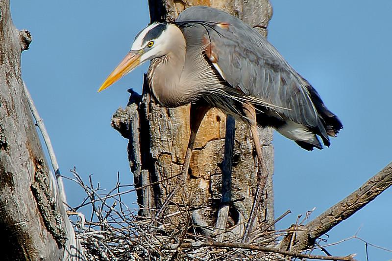 Great Blue Heron, Ballston Creek Rookery 2013