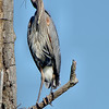 Great Blue Heron, Ballston Creek Rookery 2013