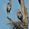 Great Blue Herons, Ballston Creek Rookery 2013
