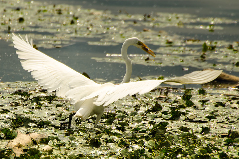 Egret Fishing<br /> 5 Got it..