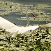Egret Fishing<br /> 5 Got it..