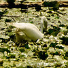Egret fishing<br /> 2 Taking the plung