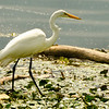 Egret fishing<br /> Now back on duty...