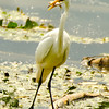 Egret fishing<br /> 9 Ah, now to feast.
