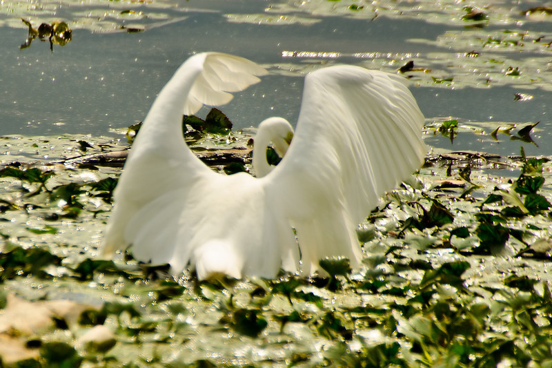 Egret fishing<br /> 4 back up