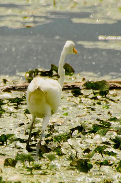 Egret fishing<br /> 1 start the attack