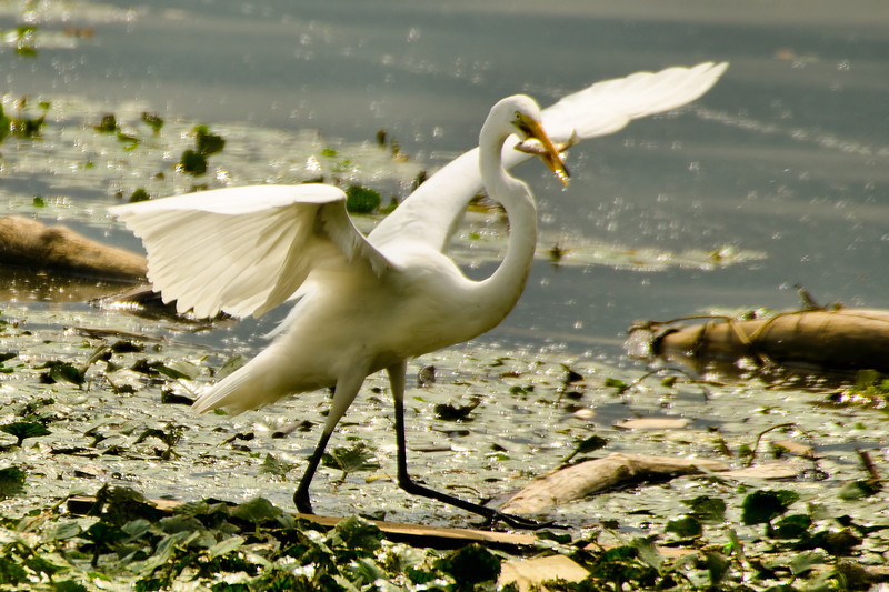 Egret fishing<br /> 7 OK now hold still...