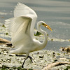 Egret fishing<br /> 6 I'm so proud..
