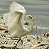 Egret fishing<br /> 6 I'm so proud..