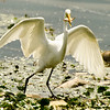 Egret fishing<br /> 8 If I can just get to where I can stand and eat...