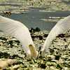 Egret fishing<br /> 3 all in