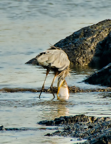 Heron attempting to eat large carp.<br /> Cohoes 8-22-13