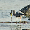 Heron attempts to eat large carp.<br /> Cohoes 8-22-13