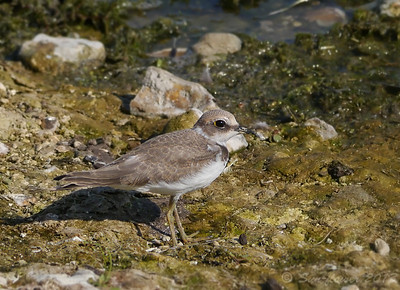 Little Ringed Plover (Charadrius dubius) [juvenile], Startop's End Reservoir, Nr Tring, Hertfordshire, 04/09/2013