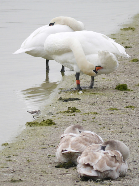 Little Stint (Winter Plumage) & Mute Swans