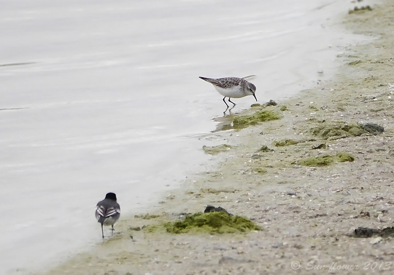 Little Stint & Pied Wagtail (Winter Plumage)